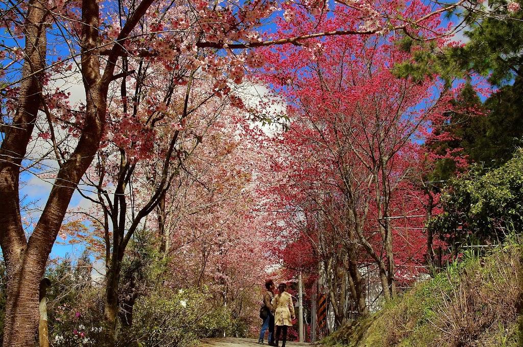 高山上的櫻花(恩愛農場)