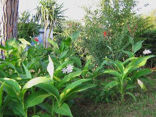 Piante e fiori fiori e piante per il balcone il for Fiori da ombra perenni