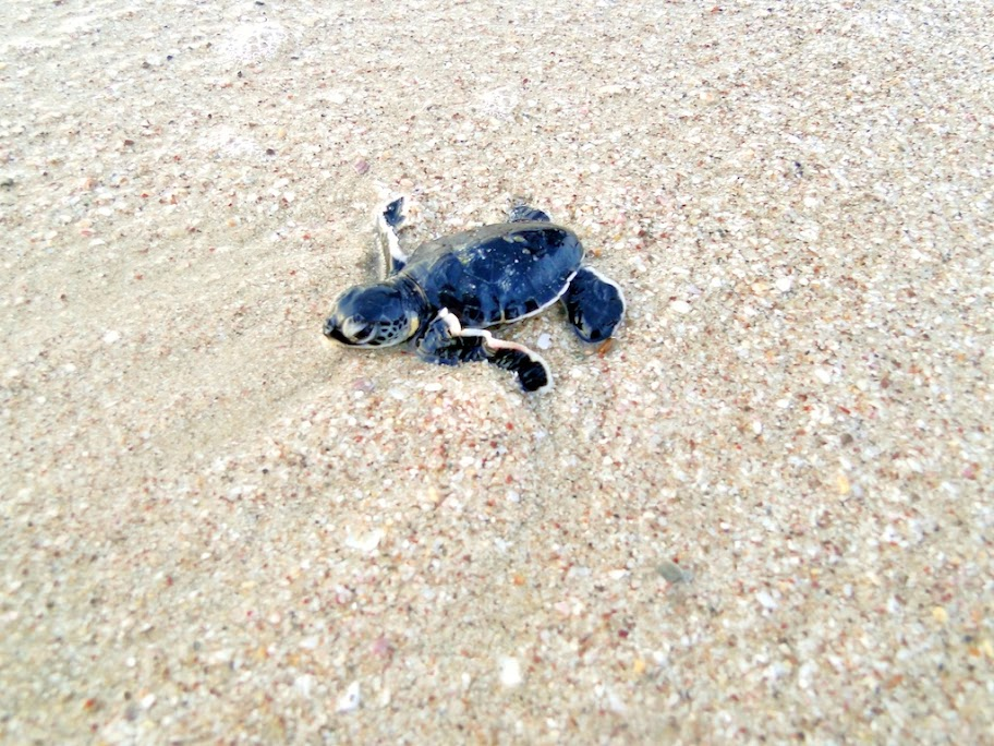 A baby turtle makes its way to the sea in the morning.