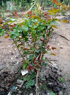 Một cây hồng ghép của Thái Lan