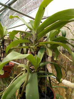 Hoa lan Ngọc Điểm - Nghinh Xuân - Đai Châu rừng trồng thuần tại vườn - 6