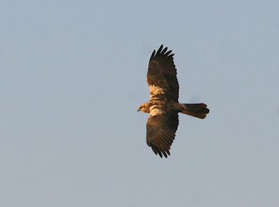 15-Jan-2012 Eurasian Marsh Harrier Pic: Deepa Mohan