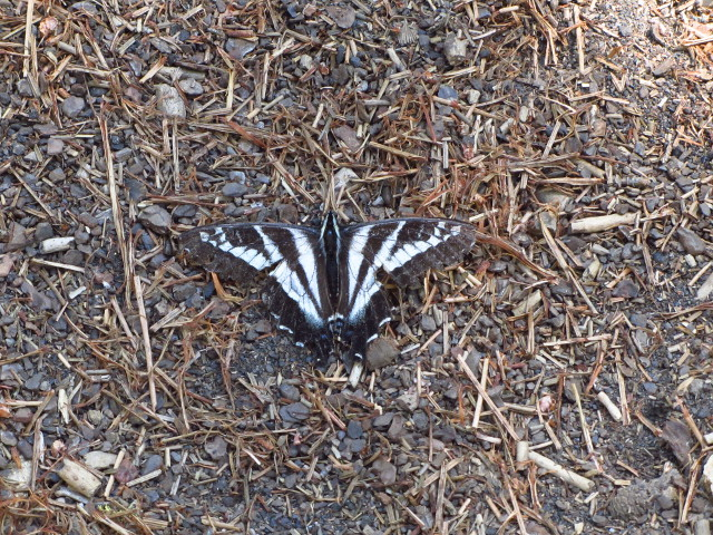 black and white swallow tail