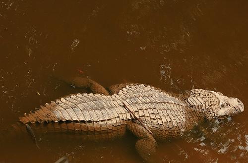 Questões e Fatos sobre Crocodilianos gigantes: Transferência de debate da comunidade Conflitos Selvagens.  - Página 3 2095167659_fedbd3f909