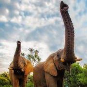 К чему снится большой слон?