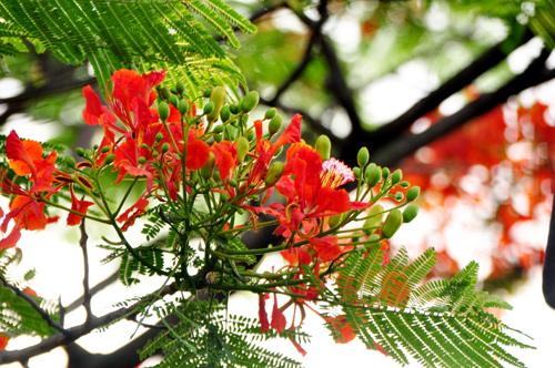 Tải ảnh hoa phượng vĩ mùa hạ