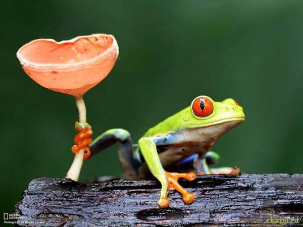 Красноглазая древесная лягушка, Коста-Рика