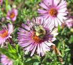 A bee on an aster flower in the pollinator garden.
