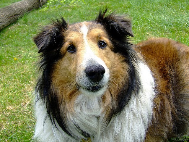 Collie breed of dog great with children