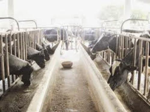 trang trai bo sua tai moc chau.4 Trang trại bò sữa ở Mộc Châu