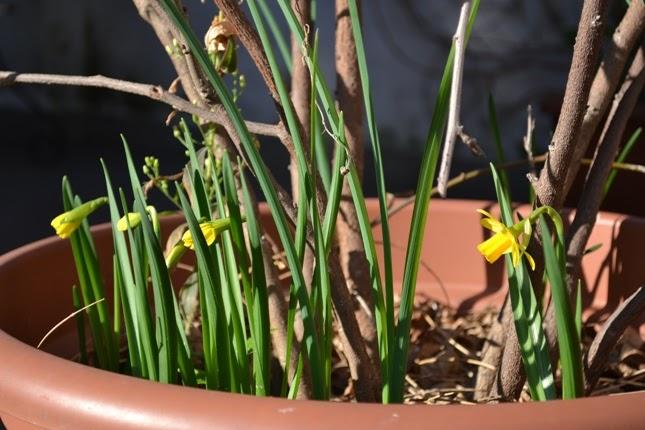 Giardinaggio in terrazzo narciso - Bulbi estivi quando piantarli ...