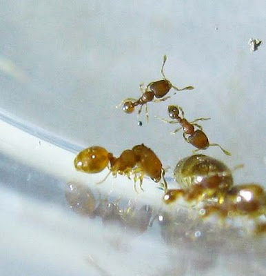 Major and minor workers of Oligomyrmex