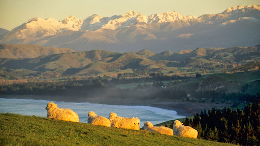 Sheep Resting Upon the Rolling Hillside, Kaikura, South Island, New Zealand.jpg