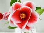 紅色地 白覆輪 八重咲き 中輪