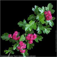 Crataegus media 'Paul's Scarlet' flower- Głóg pośredni 'Paul's Scarlet' kwiaty