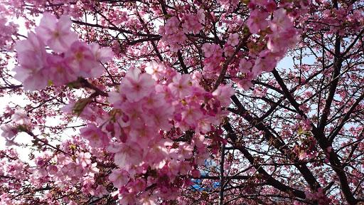 [写真] 河津桜