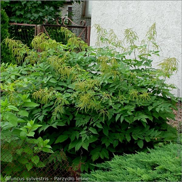 Aruncus sylvestris - Parzydło leśne pokrój rośliny w okresie owocowania