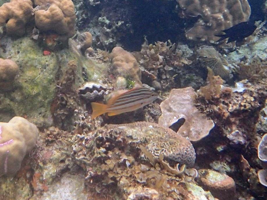 Lutjanus carponotatus (Stripey Snapper), Sand Island, Palawan, Philippines.