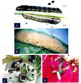 Hình dạng áu trùng (A), ổ trứng (B) và sự gây hại của sâu ăn tạp Spodoptera litura trên cây hoa hồng (C và D)
