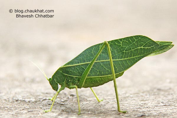 Green Leaf Grasshopper in simple language. Greater Anglewing Katydid is the real name. Microcentrum rhombifolium is the scientific name. Phylloptera rhombifolia, Orophus rhombifolia, Microcentrum affiliatum Scudder are the synonyms. Tettigoniidae is the species family name.