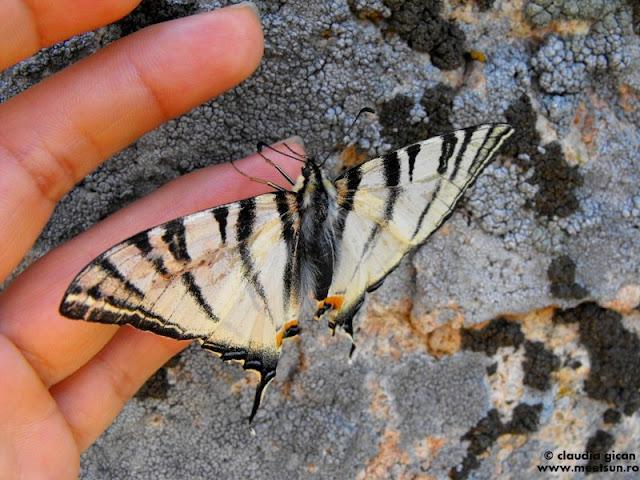 fluture Coada Rândunicii urcand pe mana