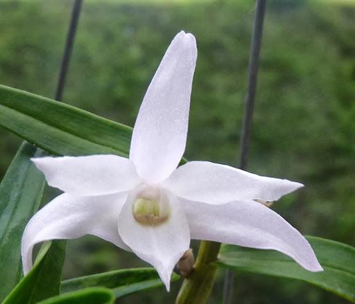Dendrobium moniliforme P1370194