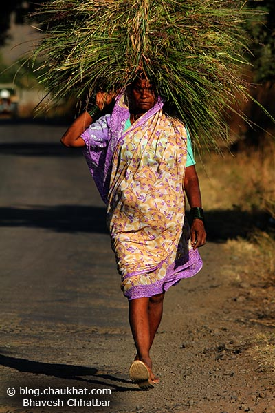 Walking Indian lady farmer carrying grass feed for her cows and buffalos