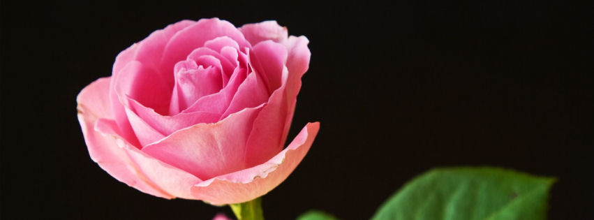 Best pink roses facebook cover