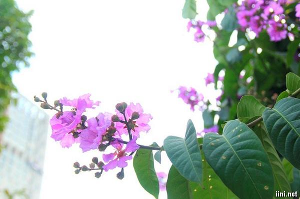 thơ tình hoa tím bằng lăng