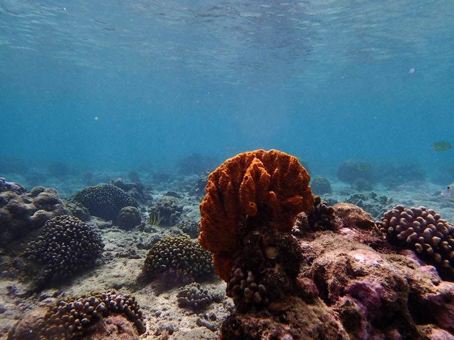 Orange Sponge, Miniloc Island Resort reef, Palawan, Philippines.