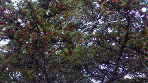 Les ifs et leurs fruits (toxiques !) sur un arbre femelle (espèce dioïque)