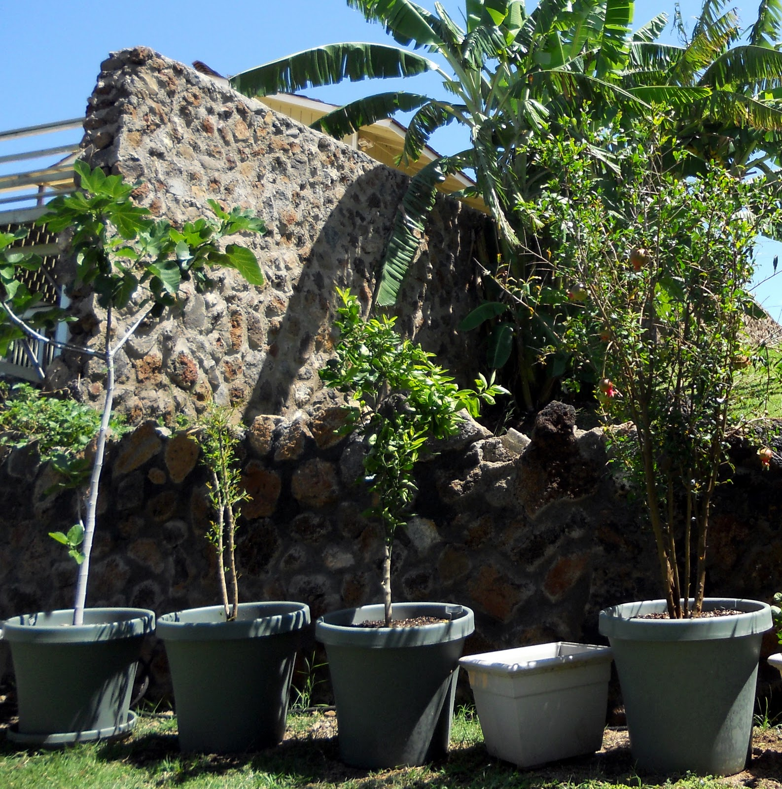 a kitchen garden in kihei maui growing container fruit