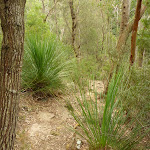 Winding amoung the Grass trees (334211)