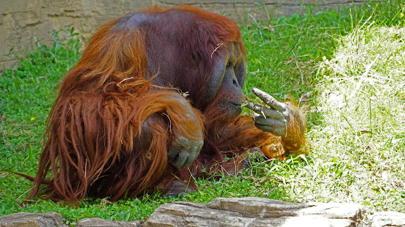多摩動物公園 オランウータン 写真