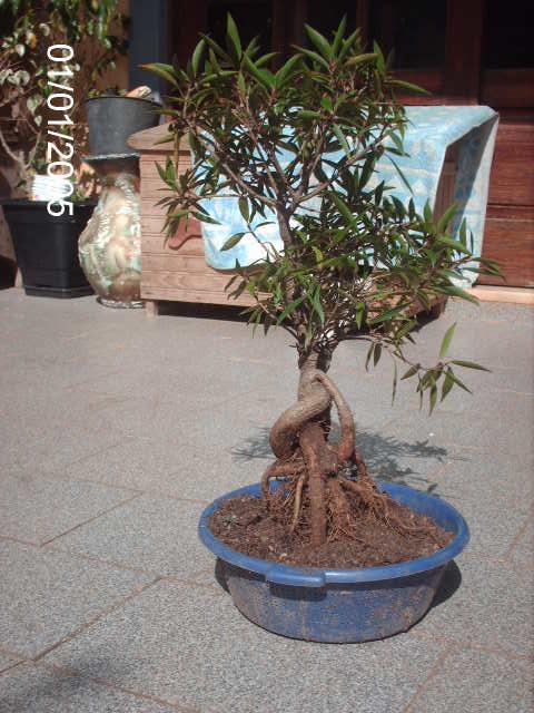 Ficus Nerifolia, Uma raiz de 3 anos... PICT0953