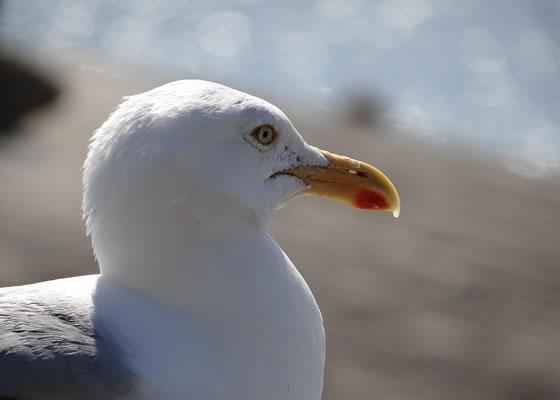 1609.jpg - Les oiseaux � Saint-Malo par Bretagne-web.fr