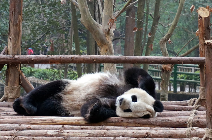 Panda tumbado