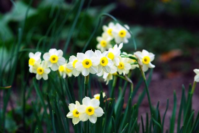 hoa thủy tiên cánh trắng