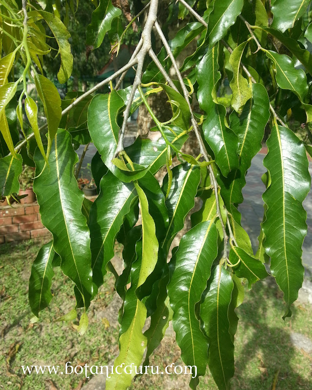 Polyalthia longifolia, Asoka Tree, Ashoka Tree, False Ashoka, Weeping Mast Tree leaves