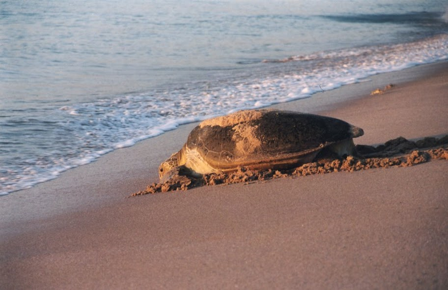 Ras al Jinz Turtle Beach