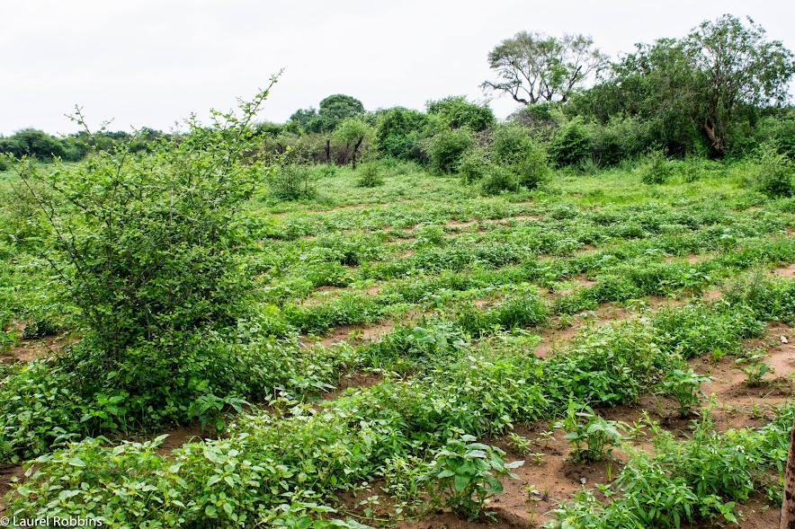 A visit with a farmer to learn the secrets to protecting their crops from elephants.