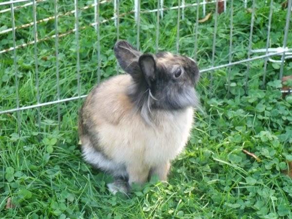 [adoptée]-Nala, lapine noire et marron, avec le bout du nez blanc Nala1-d3028