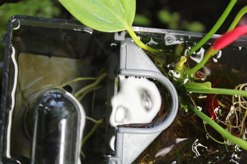 anthurium roots