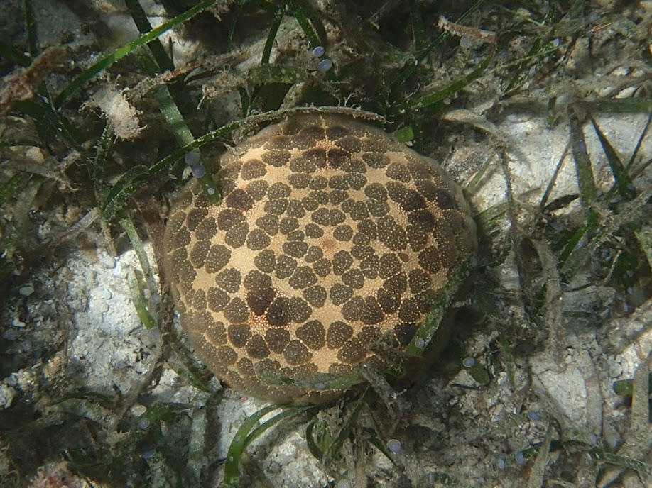 Culcita novaeguineae (Pincushion Star), Chindonan Island, Palawan. Philippines.
