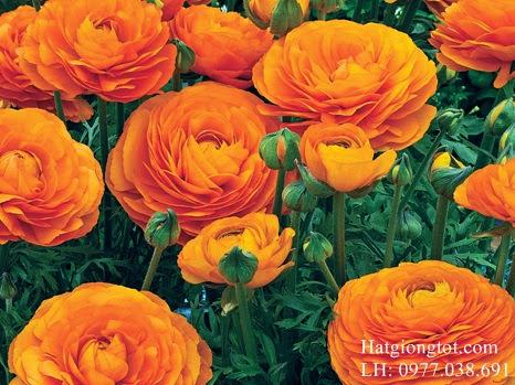Hạt hoa hồng ri ba tư