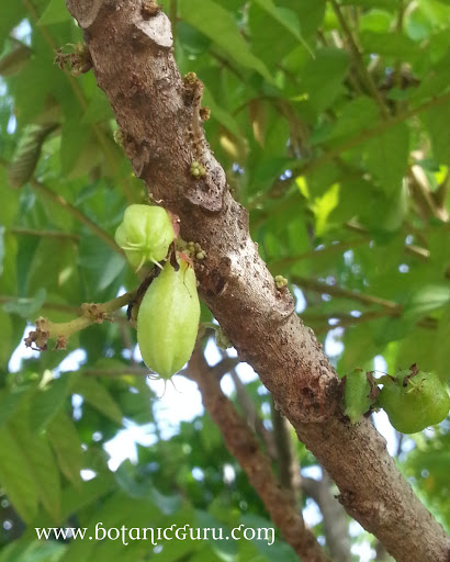 Averrhoa bilimbi fruits
