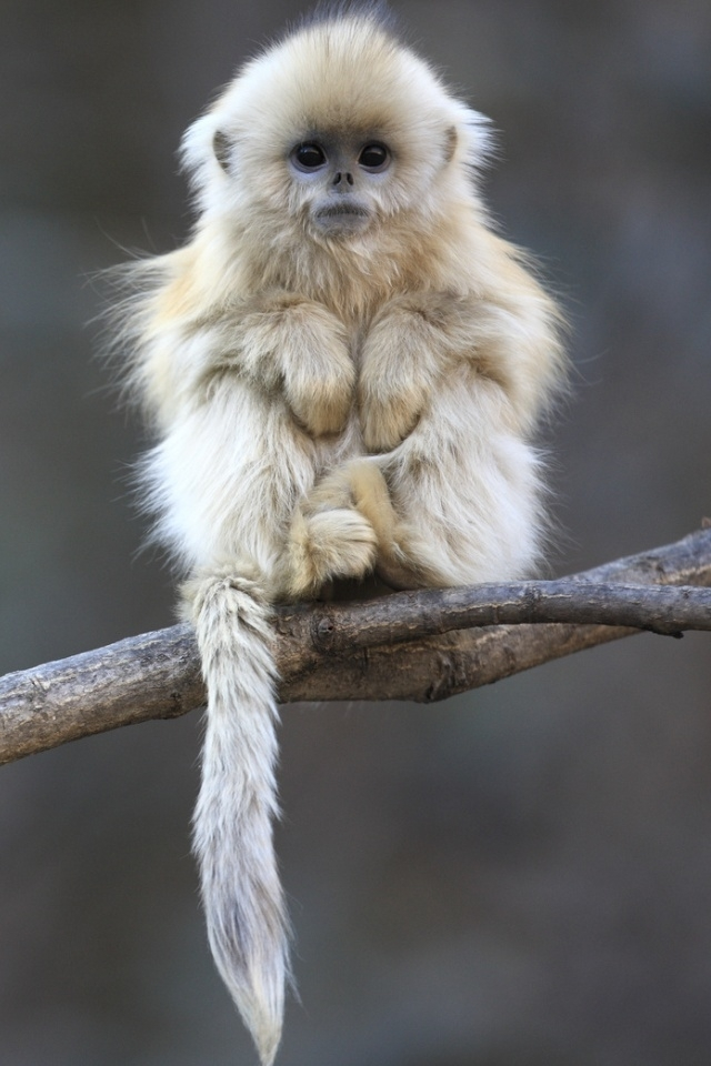 iPhone4S Wallpapers Cute Baby Monkey Pictures