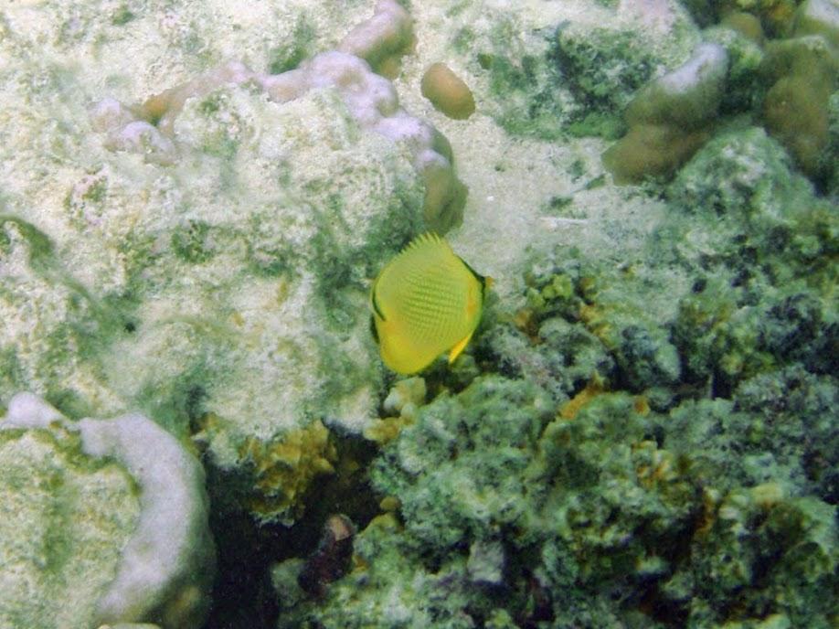 Chaetodon rafflesi (Latticed Butterflyfish), Naigani Island, Fiji.
