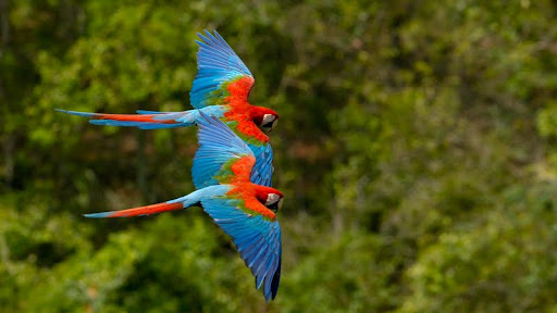 Macaws in Flight, Brazil.jpg