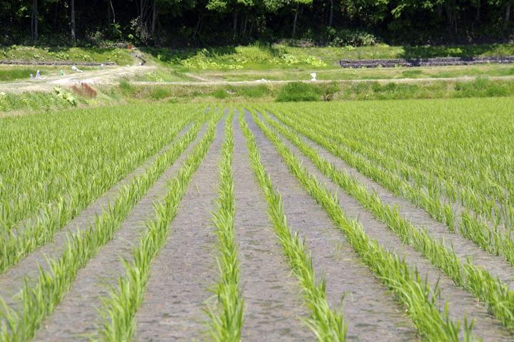風にそよぐ稲